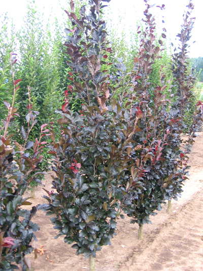Reimer nursery oregon wholesale tree nursery for Tall thin trees for small gardens